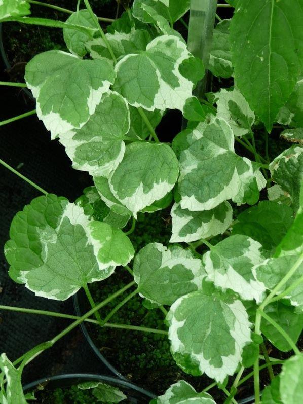 Les 25 meilleures id es de la cat gorie plante rampante for Plante vivace rampante