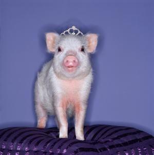 Pet Pot Bellied Pigs: A piggie princess
