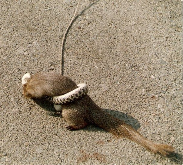 Mongoose Verses snake ...