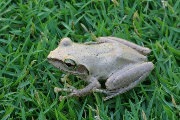 Boophis tephraeomystax #frog #amphibians #herpetology