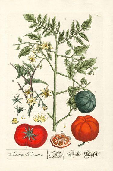 Elizabeth Blackwell Herbarium Prints 1757  tomato