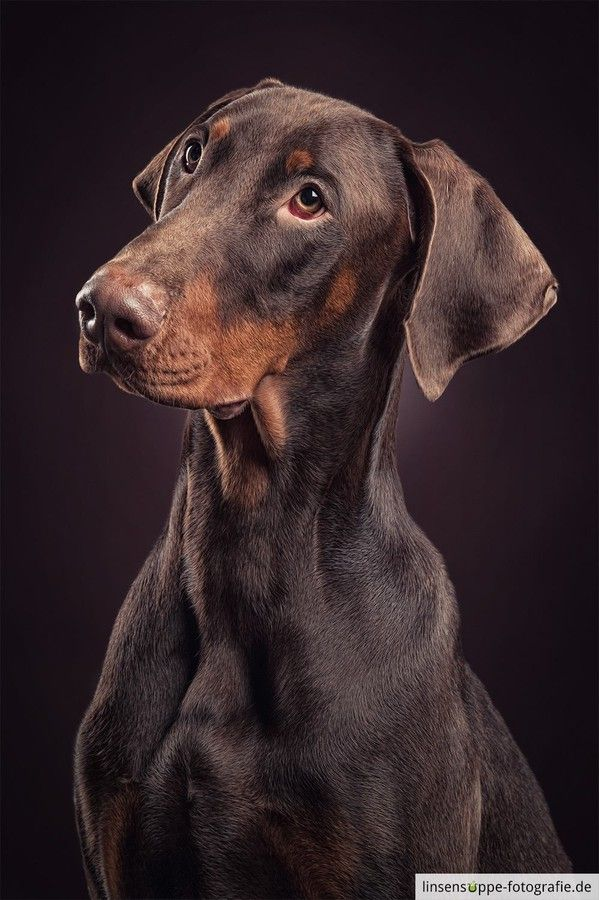 Portrait of a young brown doberman by linsensuppe -  fotografie on 500px*