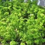 Parsley - loads of it - you can never have too much!!