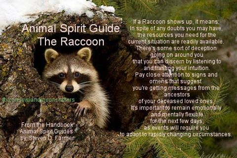 This has to be my spirit animal. I always felt a connection with raccoons!