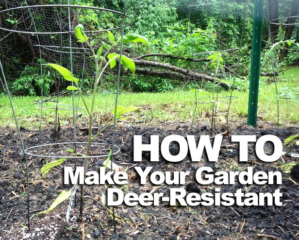 Deer-Proof Your Tomatoes >> http://blog.diynetwork.com/maderemade/how-to/how-to-build-diy-tomato-garden/?soc=pinterest