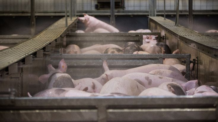 The RSPCA has welcomed plans for new legislation making it mandatory for all abattoirs to have CCTV cameras to help ensure animal welfare laws are met. The RSPCA farm animal welfare standards already require RSPCA Assured abattoirs to have CCTV installed: http://www.itv.com/news/2017-11-12/animal-slaughterhouses-will-have-to-install-cctv-to-ensure-animal-welfare-standards/