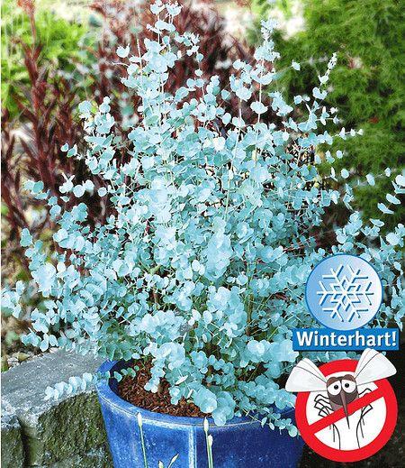 Dieser azurblaue Eukalyptus ist die erste winterharte (bis -20°, C) Varietät seiner Sorte! Die extrem blauen Blätter versprühen außerdem einen intensiven Duft, der lästige Fliegen vertreibt. Eignet sich sehr schön zur Kübelpflanzung und zur Einzelstellung im Garten. Je nach Schnitt bleibt Azura® ein kompakter Busch oder wird zu einem kleinen Baum. Eine anspruchslose, aber interessante Pflanze, die wegen ihrer vielen Vorteile heiß begehrt ist! (30/40 cm).