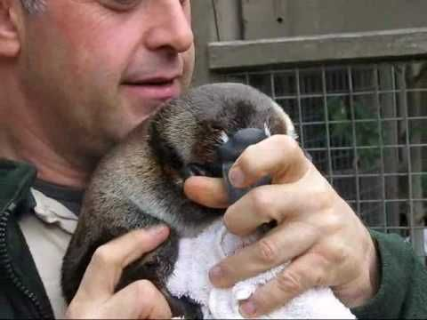 Youtube Video of baby platypus ............ She uses her soft, leathery bill the same way a puppy or baby otter would. Video of keeper Ian Elton with 6 mo. old Ember at the Healesville Sanctuary, Australia.