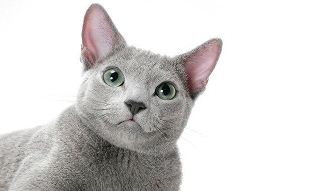 10 Hypoallergenic Cats For People With Allergies Russian Blue Cat Russian Blue Nebelung Cat