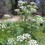 """#1 Water Hemlock, aka Cicuta douglasii, has been deemed by the USDA as the most """"violently toxic plant that grows in North America"""". It contains the toxin cicutoxin, which if ingested, wreaks havoc on the central nervous system, causing grand mal seizures – which include loss of consciousness and violent muscle contractions – and eventual death. Water hemlock is different from poison hemlock, Socrates' notorious killer, containing coniine alkaloids that kill by paralyzing the respiritry…"""