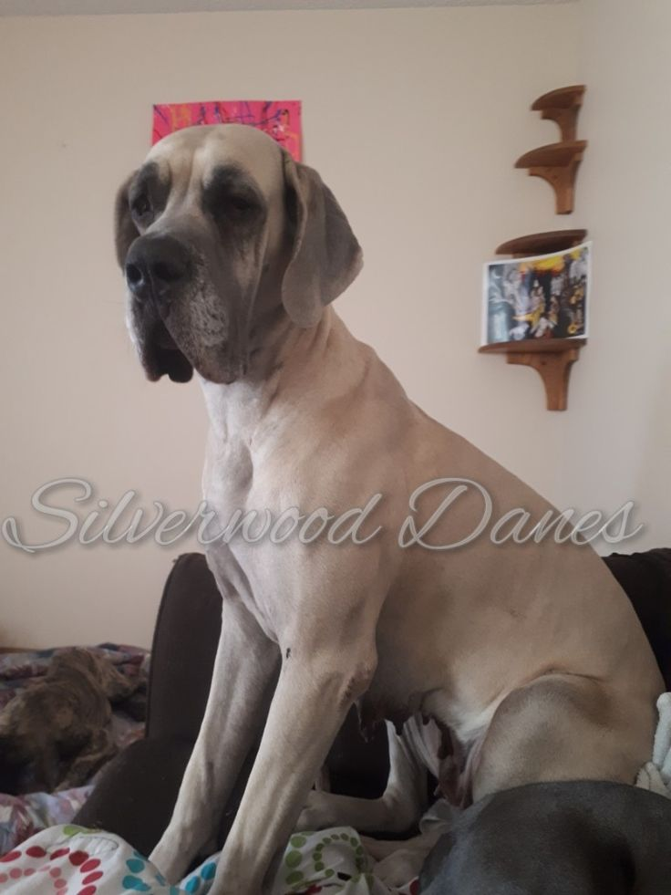 Check us out on Facebook, instagram @silverwooddanes and  check out our website www.silverwooddanes.webs.com