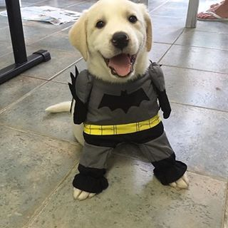 This incredibly enthusiastic Batman pup. | 22 Dogs Who Totally Nailed Their Geeky Halloween Costumes