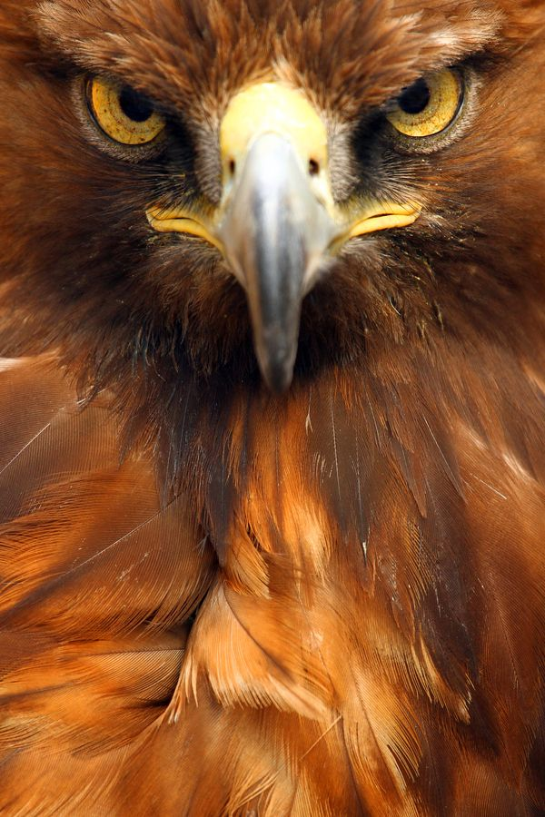 Golden Eagle: I met this guy as a child when, from the kitchen window, I saw his shadow pass over our house. He landed in a nearby tree and was so big I was afraid he could pick me up and carry me away. He had this same look on his face : )