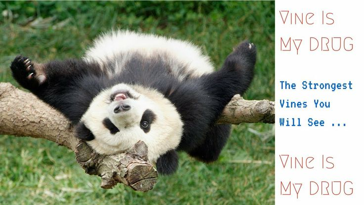 """How Does The Panda Sneeze: Panda Kid Sneezes In A Funny Way  The Most Funniest Vines You Can Find It Here, In """"Vine Is My DRUG"""" : https://www.youtube.com/user/VinesDrug  Theses Vines Are The Most Recent Vines. Taken From Many Accounts On Vine After Permission."""