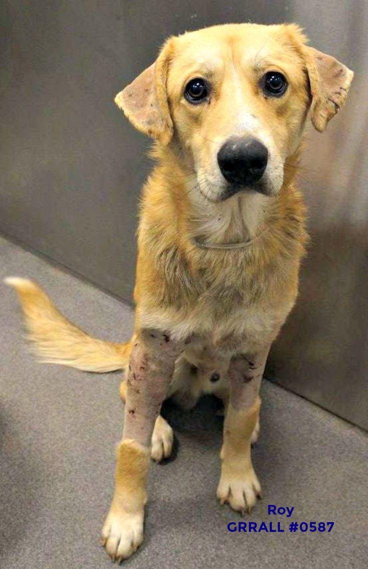 Golden Labrador dog for Adoption in FORT WORTH, TX. ADN