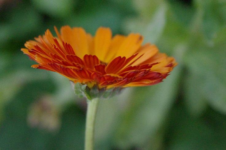 Lijst met Eetbare bloemen.