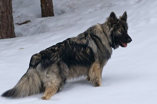 Fenris the American Alsatian ~ what a beautiful breed of dog!