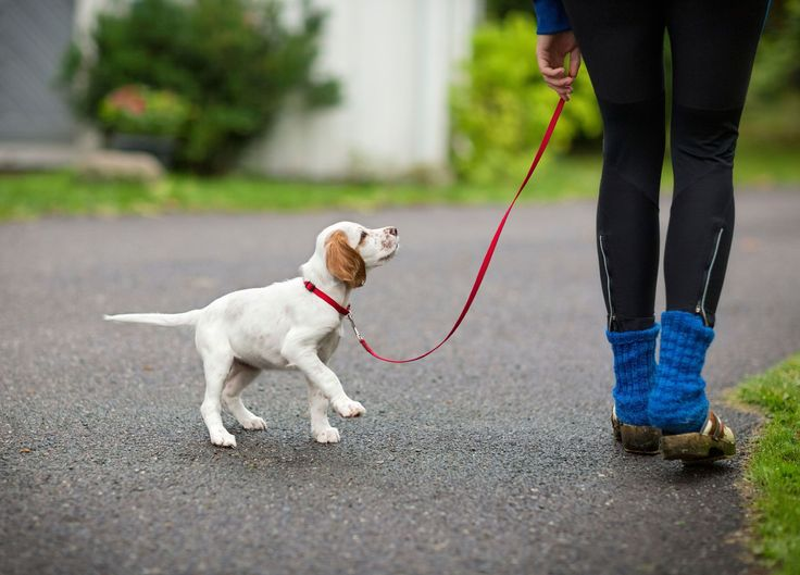 Train your puppy To walk on a leash Training your puppy