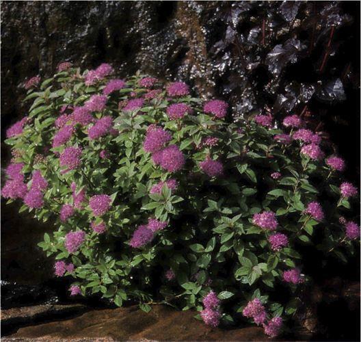 spiraea japonica norrbotten