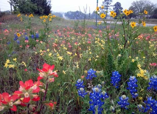 40 best images about bluebonnets  u0026 wildflowers on pinterest