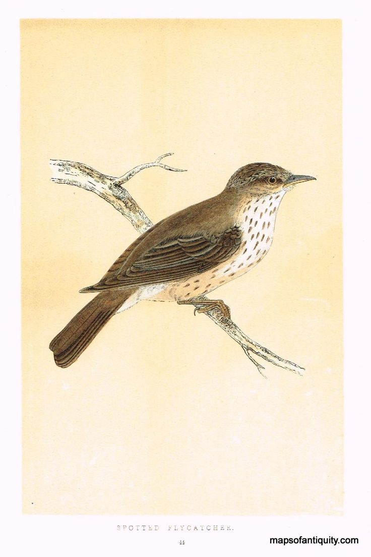 Spotted Flycatcher - Antique Maps and Charts – Original, Vintage, Rare Historical Antique Maps, Charts, Prints, Reproductions of Maps and Charts of Antiquity