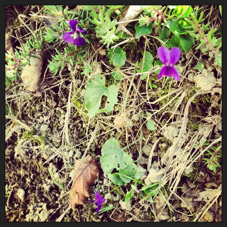 First violet! Prime viole il primo giorno di primavera
