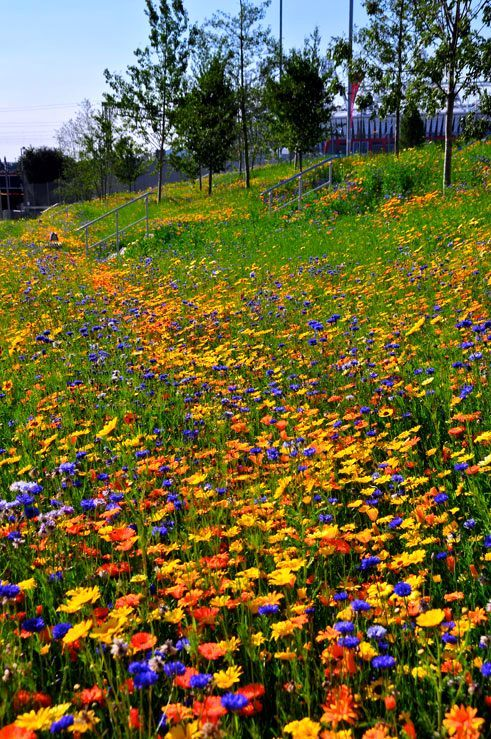 More Olympic Park Native Meadows; Photo by Nigel Dunnett of July 26, 2012