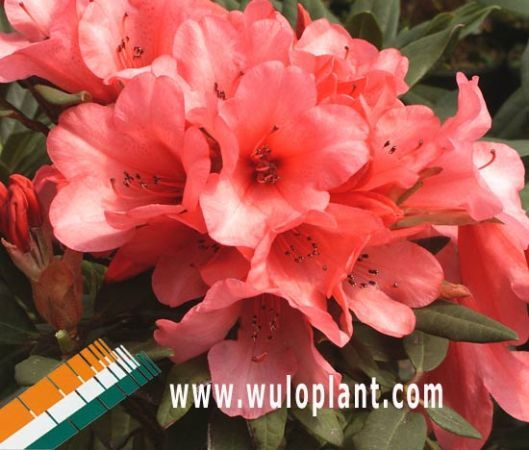 Assortment Rhododendron Wuloplant: Rhododendron Dwarf - Pink - Rhododendron Winsome