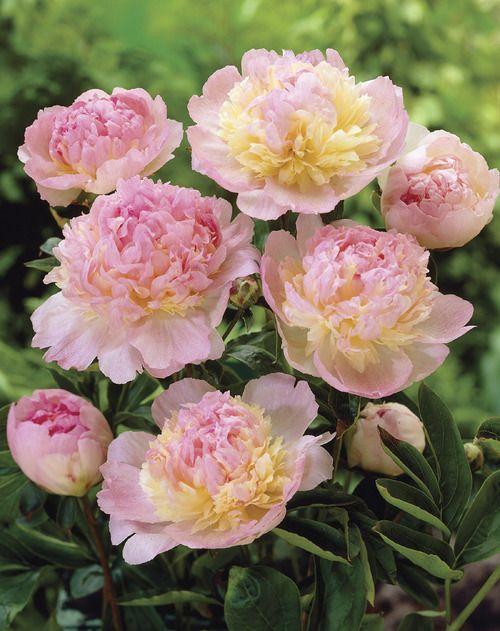 Raspberry Sundae Peony - Veseys