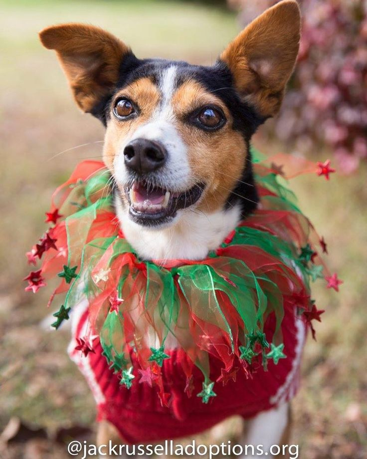 Baby Girl is feeling pretty festive! She knows that next year is going to be HER year -- finally! How are you and yours celebrating this holiday weekend? We'd love to hear.  Meet Baby Girl on www.jackrusselladoptions.org #rescuedog #merrychristmas #holidayseason #adoptme #adoptdontshop #adoptable #beaglemix #jackrussellmix #cutedog #sweetgirl #rescuedismyfavoritebreed #atlanta #atl #georgia