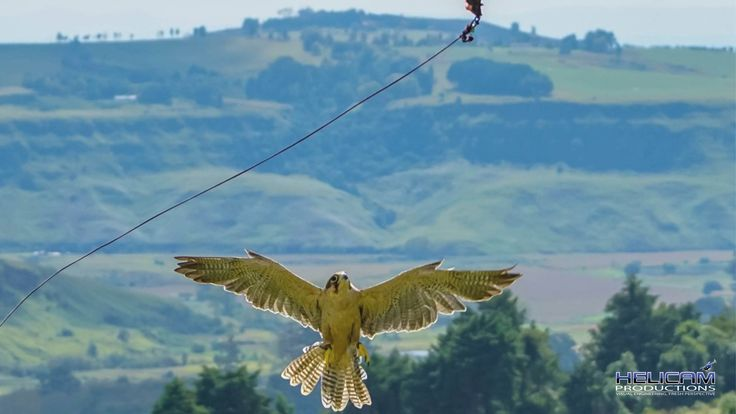 Awesome hunting Falcon at Falcon Ridge in Champayne Valley, Drakensberg, South Africa