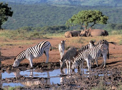 South Africa: Africans Zebras, Africans Safari, South Africa Safari, Google Search, Africa Southafrica, Africa Placesidliketogo, South Africans, Africans Immigrants, Wanna Travel