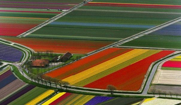 I famosi campi di tulipani in Olanda