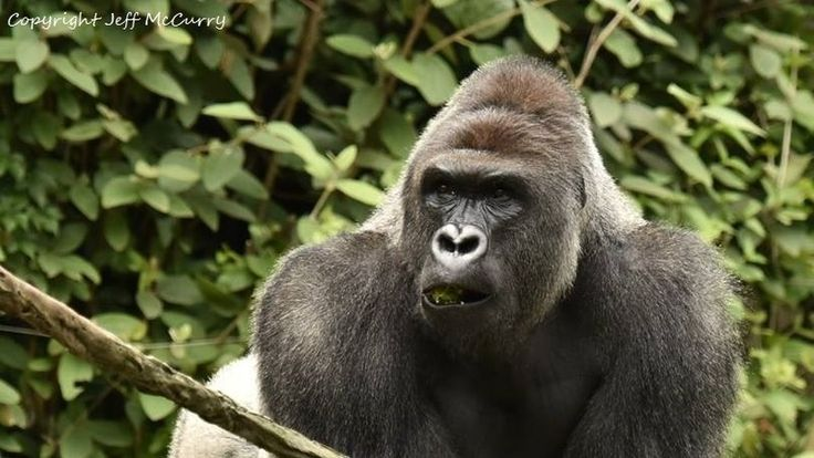 "Petition · Denise Driehaus: Support ""Harambe's Law"", for the gorilla killed in Cincinnati · Change.org"