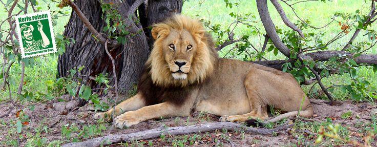 Löwen in freier Wildbahn zu beobachten ist ein Moment, den man nicht mehr vergisst