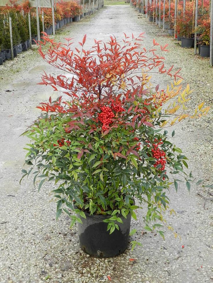 7 best nandina domestica images on pinterest backyard for Domestic garden ideas