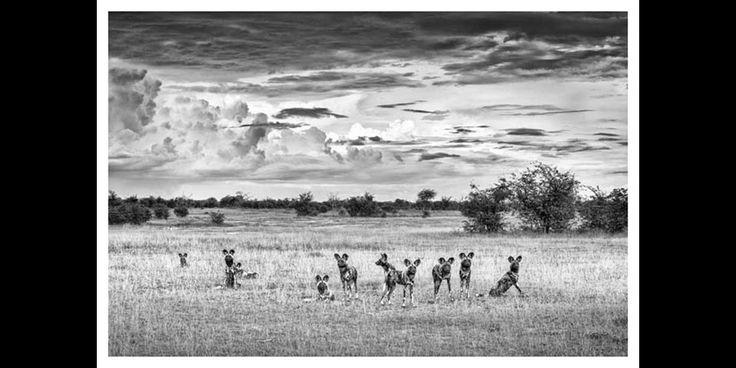 African Wild dog's under an African sky