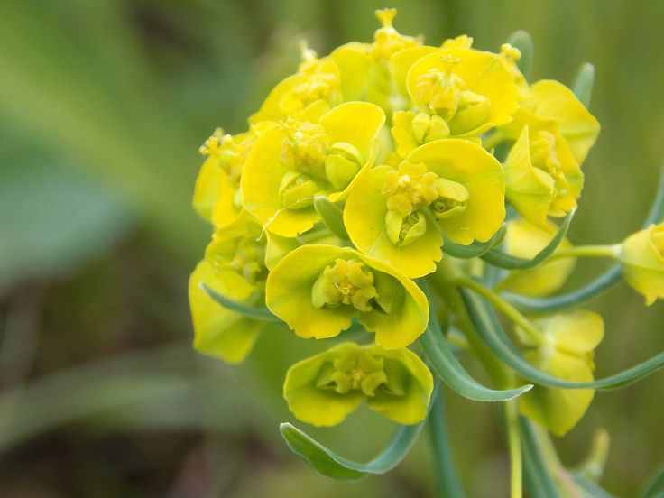 Euphorbia cyparissias/ Farkas kutyatej