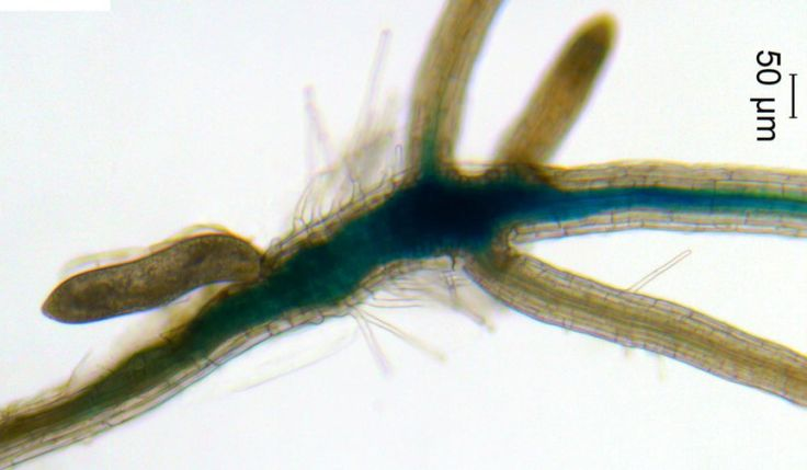 Invisible to the naked eye, cyst nematodes are a major threat to agriculture, causing billions of dollars in global crop losses every year. A group of plant scientists recently found one of the mechanisms cyst nematodes use to invade and drain life-sustaining nutrients from soybean plants. Understanding the molecular basis of interactions between plants and nematodes could lead to the development of new strategies to control these major agricultural pests and help feed a growing global…