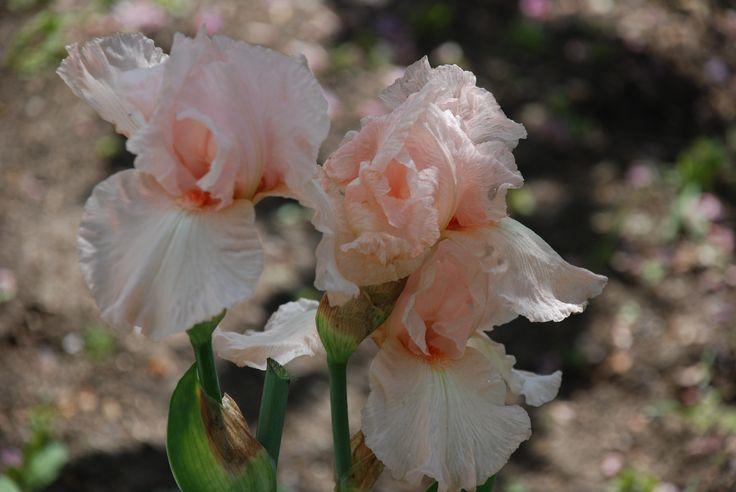 Iris roz.