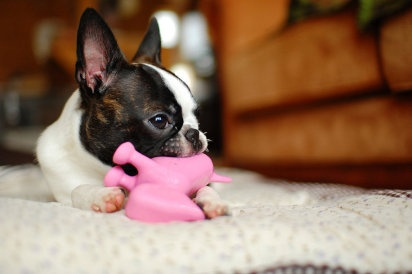 Todo sobre los cachorros.: Little Girls, Puppies Pictures, Boston Baby, Small Dogs, Dogs Breeds, Happy Dogs, Photo, Animal, Boston Terriers Puppies