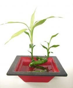 How to Care for a Lucky Bamboo House Plant