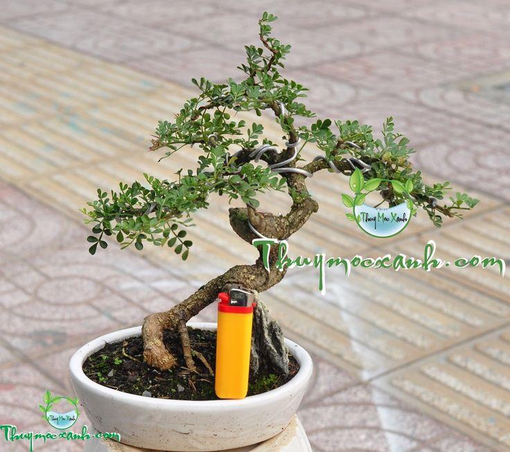14 best bonsai mini images on pinterest bonsai mini and. Black Bedroom Furniture Sets. Home Design Ideas