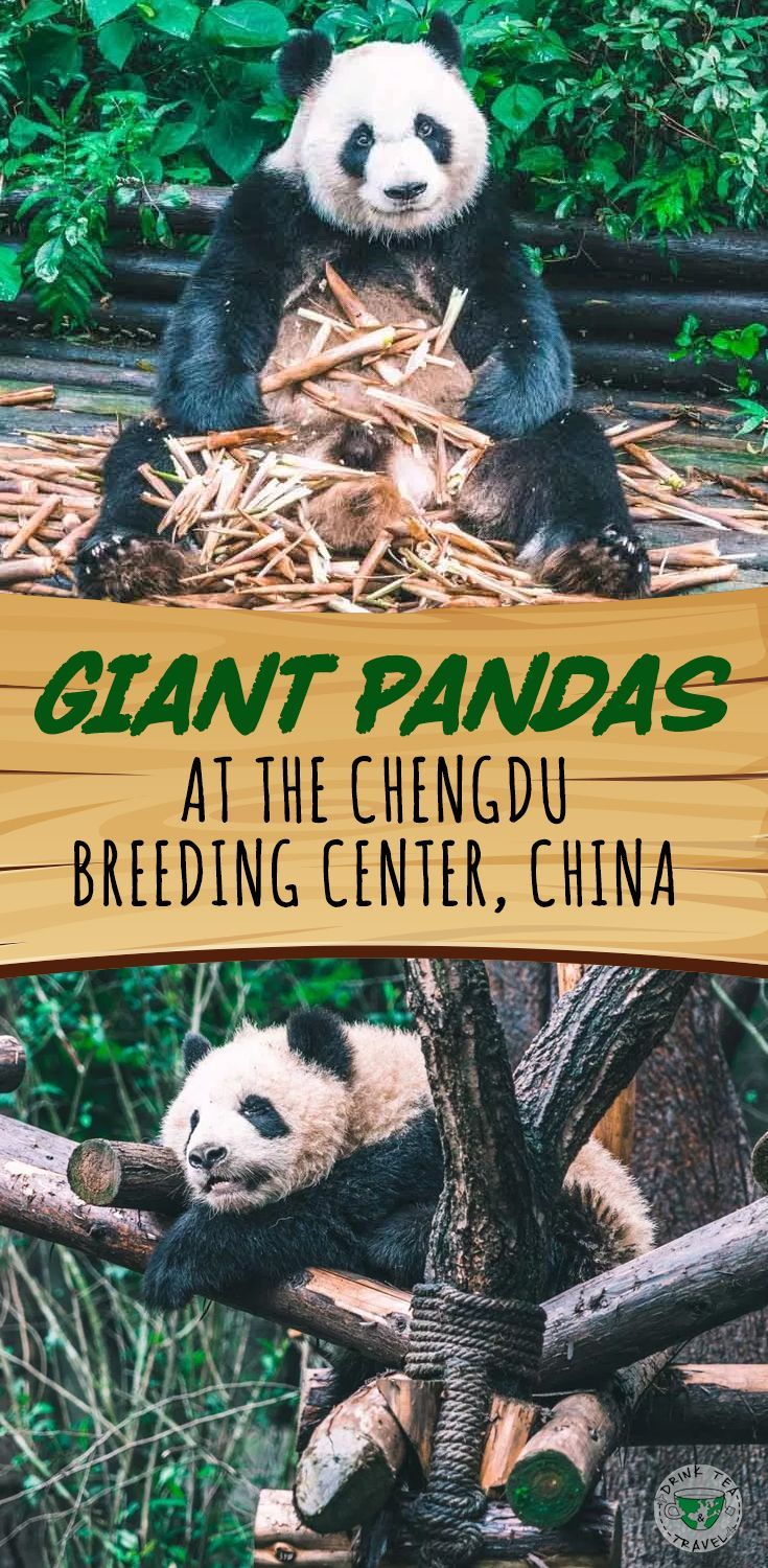 Interested in seeing Pandas? Check out our video from the biggest Giant Panda Research and Breeding Center in Chengdu China.