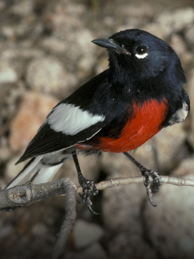 Painted Redstart, Myioborus pictus: still common in its limited U.S. range - Photo: Rick & Nora Bowers/ Vireo