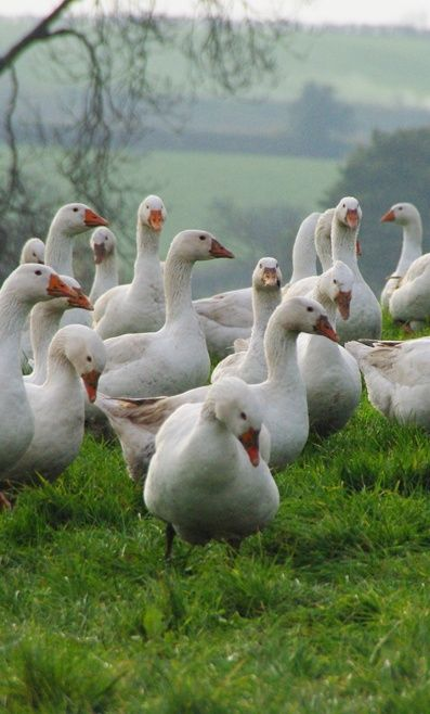 FARMHOUSE – ANIMALS – Gaggle of geese: