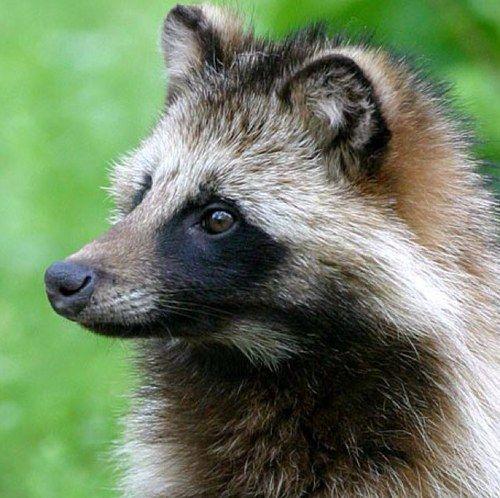 Japanese Raccoon Dog(Nyctereutes procyonoides viverrinus) ホンドタヌキ