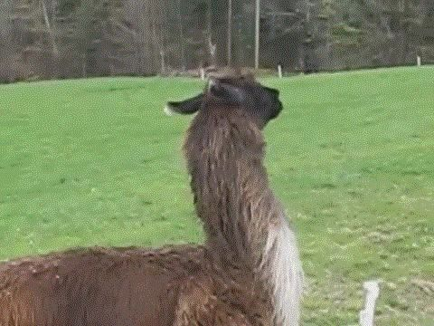 17 Times Llamas Were Majestic.. even though a lot of these are alpacas :]