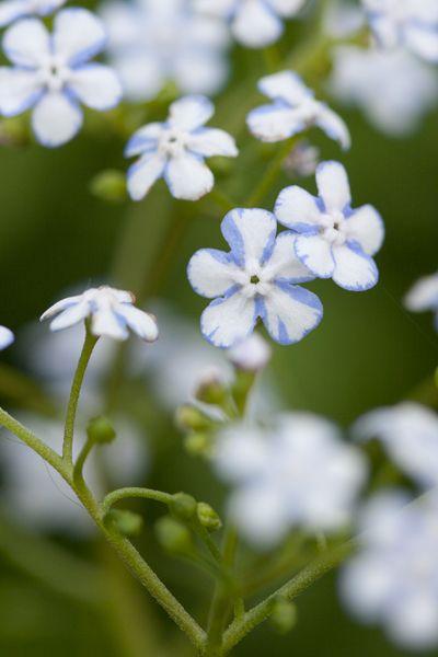 Brunnera macrophylla 'Jennifer' - Garden Living