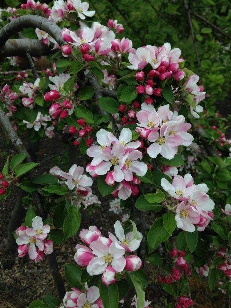 www.tuinseizoen.com prachtige #appelbloesem #pink #roze #spring #beautiful!